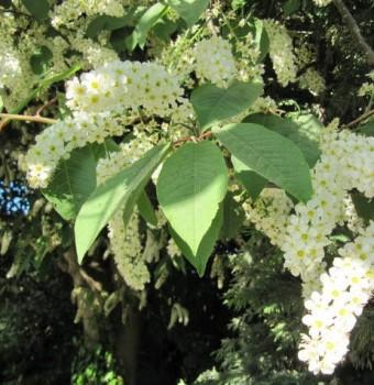 Májusfa, Zelnicemeggy Prunus padus