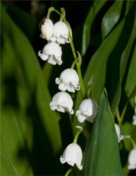 Májusi gyöngyvirág fehér virágok - Convallaria