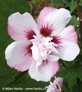 Mályvacserje rózsaszín - Hibiscus syriacus Lady Stanley