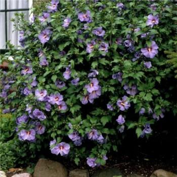 Mályvacserje Hibiscus syriacus 80-100 cm cserepes sövény cserje - Forrás: http://www.burford.co.uk