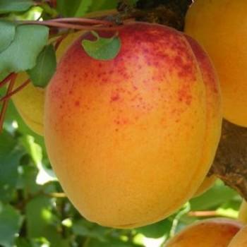 Mandulakajszi - Kajszi fajták - Gyümölcsfa