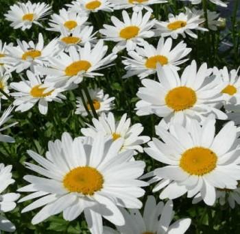 Margaréta Leucanthemum x superbum Becky