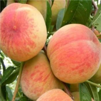 Mariska őszibarackfa oltvány - Gyümölcsfa