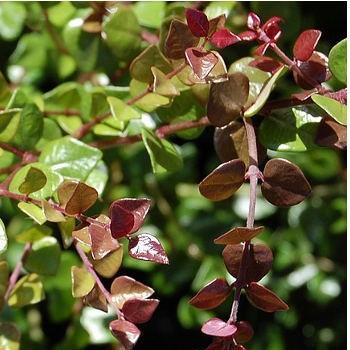 Mirtuszlonc pirosas levelű - Lonicera nitida Red Tips