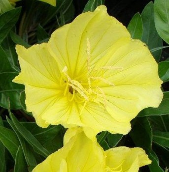 Missouri ligetszépe virág Oenothera macrocarpa
