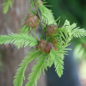 Mocsárciprus levél és termés - Taxodium distichum