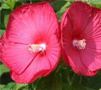 Óriás mályva, Óriás hibiszkusz - Hibiscus moschheutos