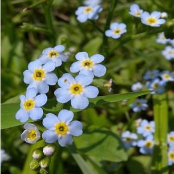 Tavi növények Mocsári nefelejcs vadvirág - Myosotis