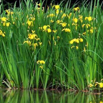 Tavi növények Mocsári nőszirom - Iris pseudoacorus