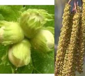 Mogyoró - Corylus avellana - Vadgyümölcs
