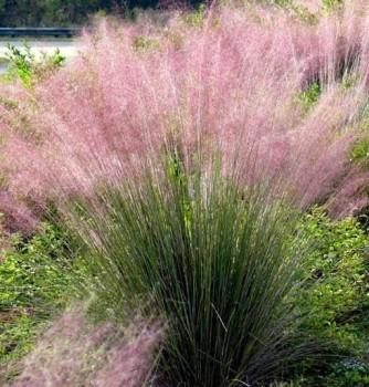 Muhly fű Muhlenbergia capillaris