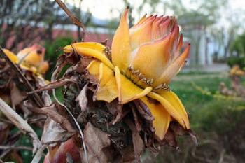 Arany lótusz banán - Musella lasiocarpa Forrás: Clivid https://www.flickr.com/photos/lungfish2000/