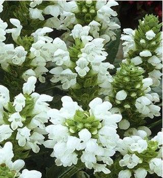 Nagyvirágú gyíkfű talajtakaró és szegélynövény virág