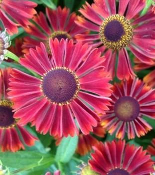 Őszi napfényvirág borvörös Helenium Siesta