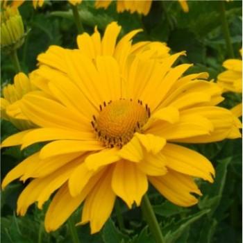 Magas évelők Napszemvirág Heliopsis