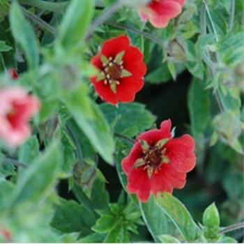 Nepáli pimpó virágok - Potentilla nepalensis Ron Mc Beath
