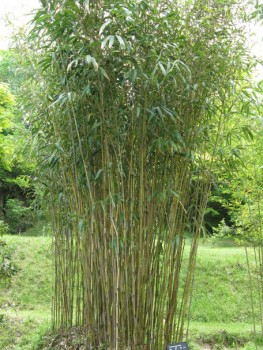 Japán nyíl bambusz - Középmagas bambuszok - Pseudosasa japonica