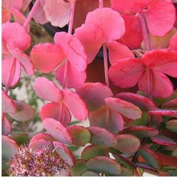 Sziklakerti évelők Októberi varjúháj - Sedum sieboldii