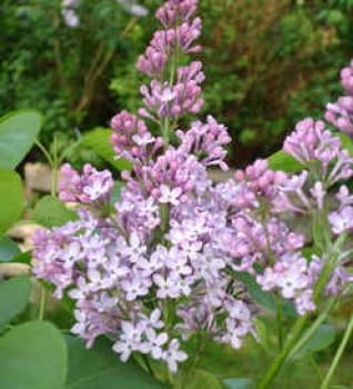 Orgona virág - Syringa vulgaris