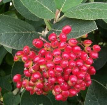 Ostormén bangita termések - Viburnum lantana