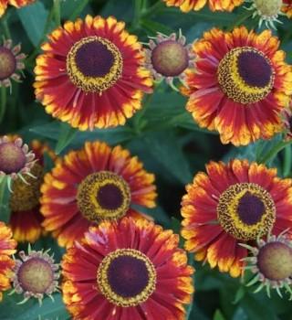 Őszi napfényvirág Helenium Bandera