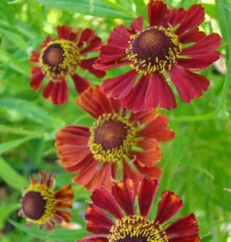 Őszi napfényvirág Helenium Rubinzwerg