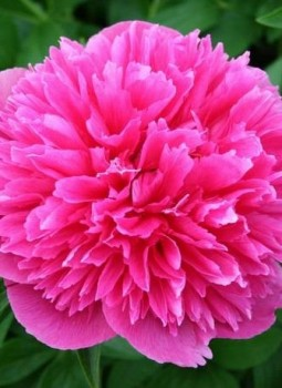 Illatos bazsarózsa sötét rózsaszín Paeonia Rosea Plena