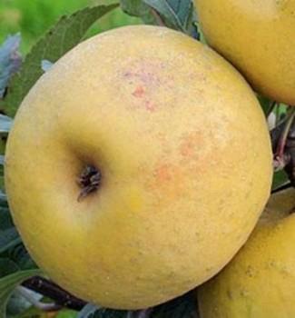 Parkers pepin történelmi alma - almafa oltványok, gyümölcsfa
