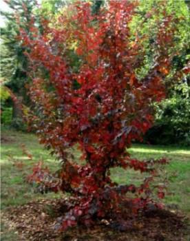 Fák, Díszfák Perzsa varázsfa őszi lombszín: Forrás: http://1003gardens.blogspot.hu/2012/10/parrotia-subaequalis-in-witch-hazel.html