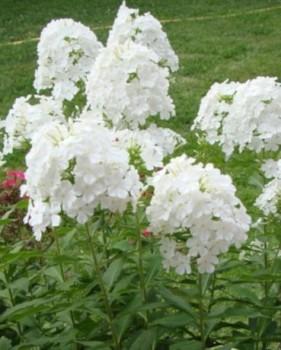 Bugás lángvirág fehér virágú Phlox paniculata Fujiyama