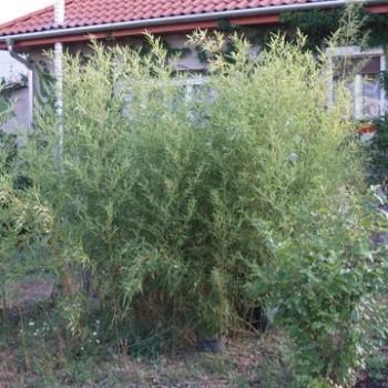 Örökzöld növények Phyllostachys humilis bambusz