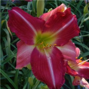 Piros virágú sásliliom Hemerocallis Sir Patrick Spens