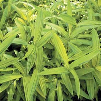 Örökzöld növények Aranysárga levelű törpe bambusz - Pleioblastus Auricoma