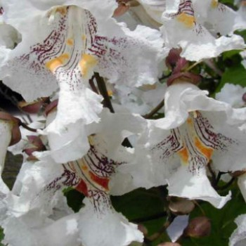Pompás szivarfa - Catalpa speciosa