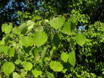 Rezgő nyár - Populus tremula - Fa, Díszfa