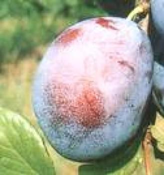 President szilvafa oltvány - Szilva fajták - Gyümölcsfa