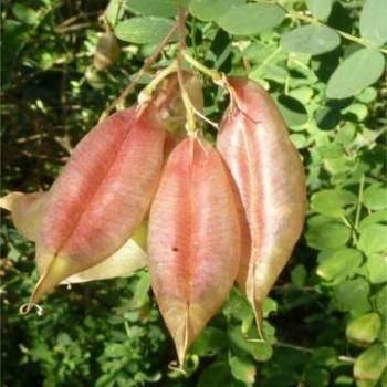 Pukkanó dudafürt Colutea arborescens 60-80 cm csemete