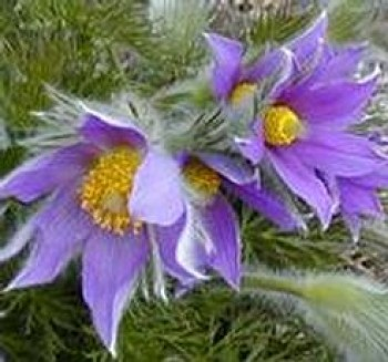 Kökörcsin ibolyakék Pulsatilla vulgaris Pinwheel Blue - cserepes évelő virág