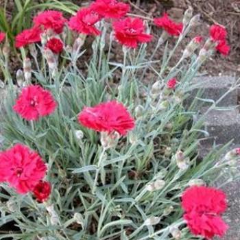 Sziklakerti évelők Pünkösdi szegfű - Dianthus Rubin