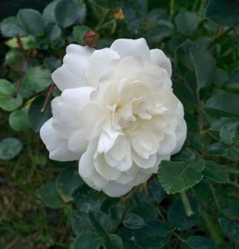 Hófehér talajtakaró rózsa – Rosa Alba Meillandina