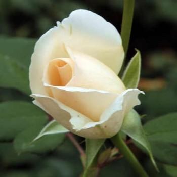 Vajszínű enyhén rózsaszín szélű teahibrid rózsa  Rosa Grand Mogul