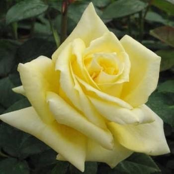 Sötétsárga teahibrid rózsa Rosa Landora