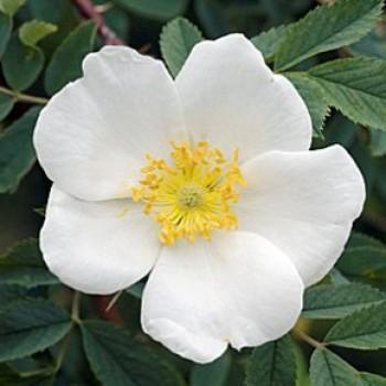 Vadrózsa - Rosa laxa virág
