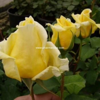 Sárga virágú futó kúszó rózsa - Rosa Royal Gold - Konténeres rózsák