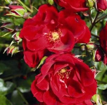 Virágágyi ágyás rózsa piros Rosa Paprika