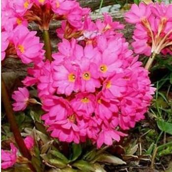 Sziklakerti évelő Rózsakankalin - Primula