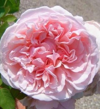 Rózsaszín romantikus angol rózsa Rosa Auswith