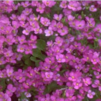 Rózsaszín ikravirág - Arabis caucasica