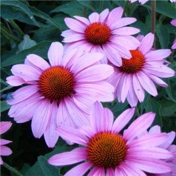 Bíbor kasvirág - Echinacea purpurea Prairie Splendour - Magas évelők