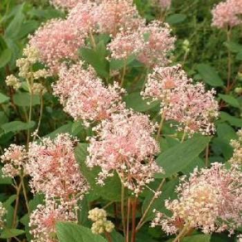 Rózsaszín táskavirág - Ceanothus
